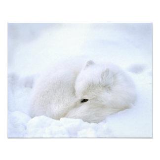 Canada, Manitoba, Churchill. Artic fox with Photographic Print