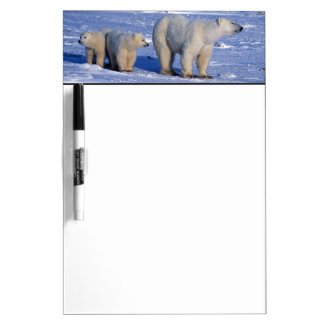 Canada, Manitoba, Churchill. Polar bear mother Dry Erase Board