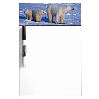 Canada, Manitoba, Churchill. Polar bear mother Dry-Erase Whiteboard