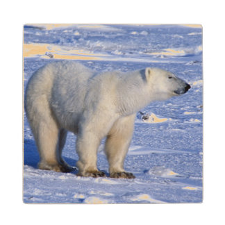Canada, Manitoba, Churchill. Polar bear mother Wood Coaster