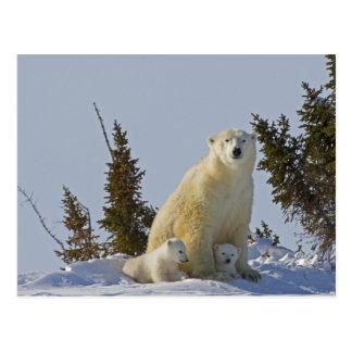 Canada, Manitoba, Wapusk National Park. Polar 4 Postcard