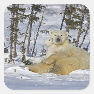 Canada, Manitoba, Wapusk National Park. Polar 7 Square Sticker