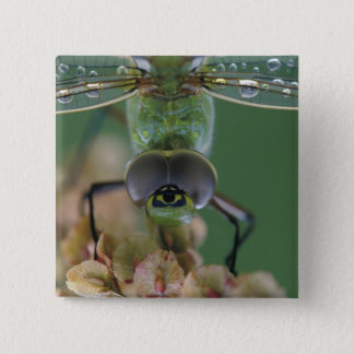 Canada, Ontario, close-up of Green Darner on 15 Cm Square Badge