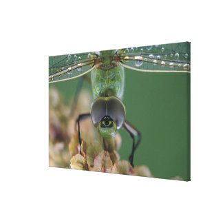 Canada, Ontario, close-up of Green Darner on Canvas Print
