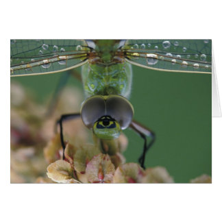 Canada, Ontario, close-up of Green Darner on Card