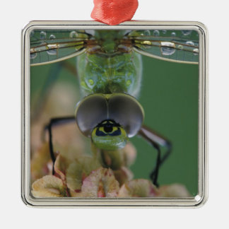 Canada, Ontario, close-up of Green Darner on Christmas Ornament