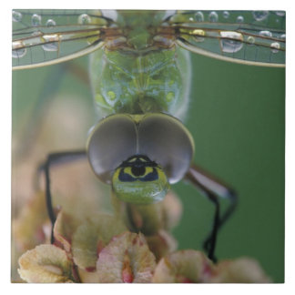 Canada, Ontario, close-up of Green Darner on Large Square Tile
