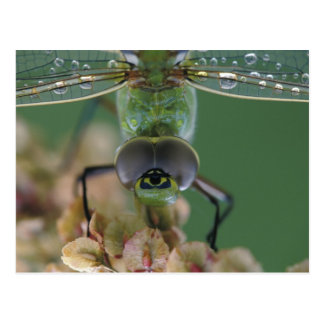 Canada, Ontario, close-up of Green Darner on Postcard