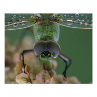 Canada, Ontario, close-up of Green Darner on Poster