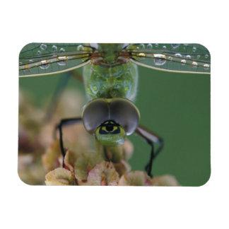 Canada, Ontario, close-up of Green Darner on Rectangular Photo Magnet