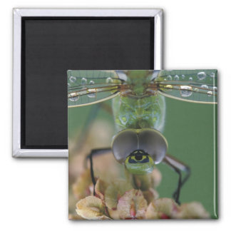 Canada, Ontario, close-up of Green Darner on Square Magnet