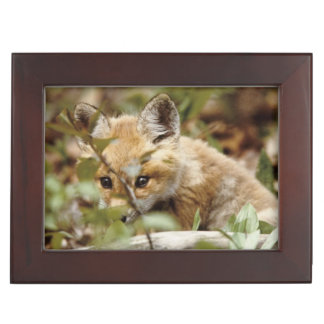 Canada, Point Pelee National Park. Young red fox Keepsake Box