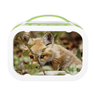 Canada, Point Pelee National Park. Young red fox Lunch Box