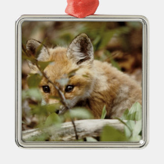 Canada, Point Pelee National Park. Young red fox Silver-Colored Square Decoration