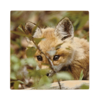 Canada, Point Pelee National Park. Young red fox Wood Coaster