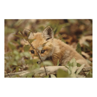 Canada, Point Pelee National Park. Young red fox Wood Wall Decor