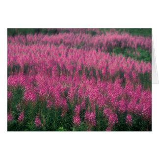 Canada, Quebec, Gaspe. Purple Lythrum Flowers, Card