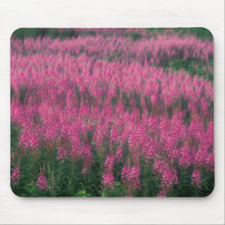 Canada, Quebec, Gaspe. Purple Lythrum Flowers, Mouse Mat