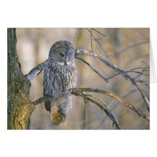 Canada, Quebec. Great gray owl perched on tree Card