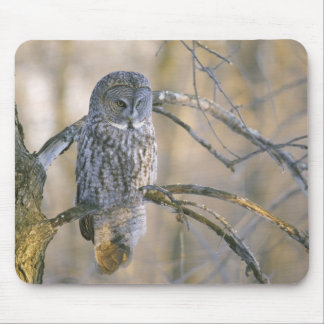 Canada, Quebec. Great gray owl perched on tree Mouse Mat
