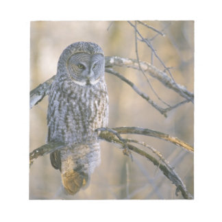 Canada, Quebec. Great gray owl perched on tree Notepad