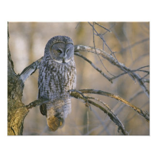 Canada, Quebec. Great gray owl perched on tree Poster
