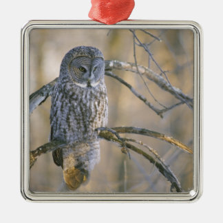 Canada, Quebec. Great gray owl perched on tree Silver-Colored Square Decoration