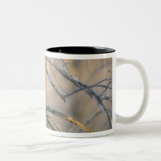 Canada, Quebec. Great gray owl perched on tree Two-Tone Coffee Mug
