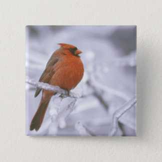 Canada, Quebec. Male northern cardinal on limb 15 Cm Square Badge