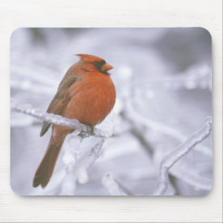 Canada, Quebec. Male northern cardinal on limb Mouse Mat