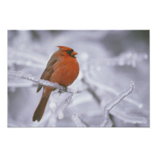Canada, Quebec. Male northern cardinal on limb Poster
