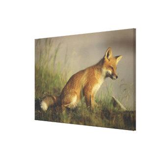 Canada, Quebec. Red fox cub at sunrise. Credit Canvas Print