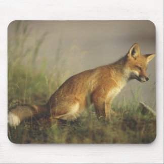 Canada, Quebec. Red fox cub at sunrise. Credit Mouse Mat