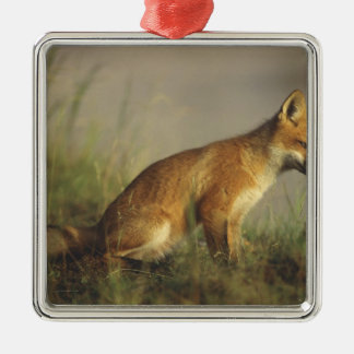Canada, Quebec. Red fox cub at sunrise. Credit Silver-Colored Square Decoration