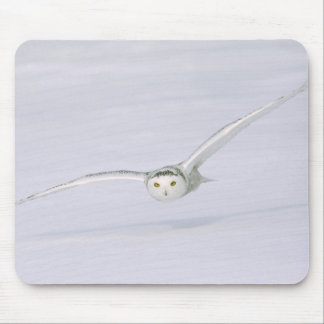 Canada, Quebec. Snowy owl flies low over snow. Mouse Mat