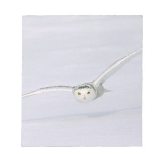 Canada, Quebec. Snowy owl flies low over snow. Notepad