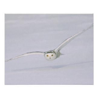 Canada, Quebec. Snowy owl flies low over snow. Poster