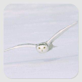 Canada, Quebec. Snowy owl flies low over snow. Square Sticker