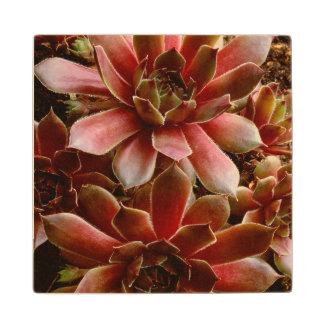 Canada, . Succulent plant Maple Wood Coaster