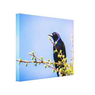 Canadian Black Bird Canvas Print