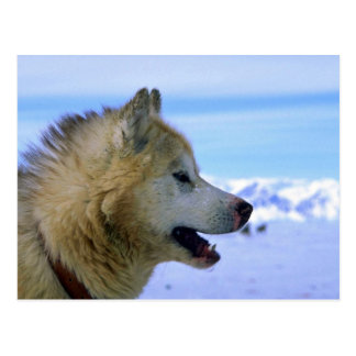 Canadian Eskimo sled dog Post Card