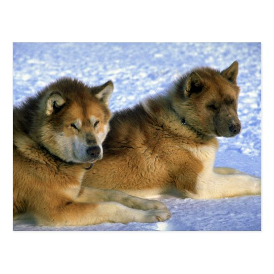 Canadian Eskimo sled dogs Postcard