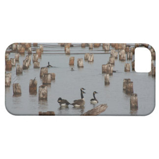 canadian geese at Ashland, WI iPhone 5 Cases