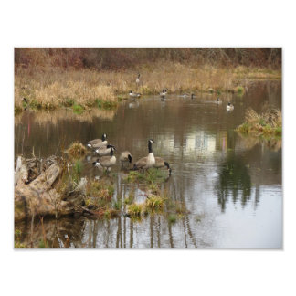 Canadian Geese Photo Print