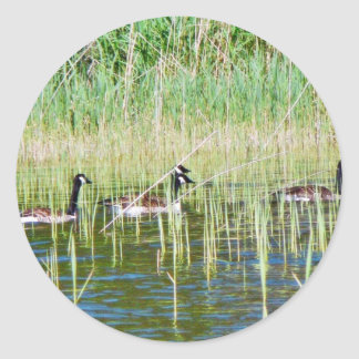 Canadian Geese Swimming Classic Round Sticker