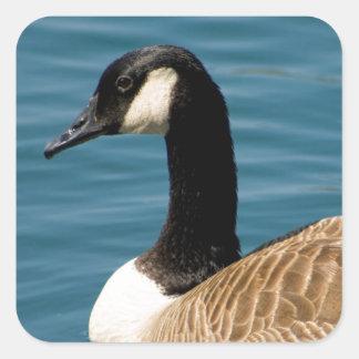 Canadian Goose - Branta canadensis Square Sticker