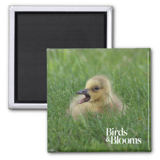 Canadian Goose Chick 2 Inch Square Magnet