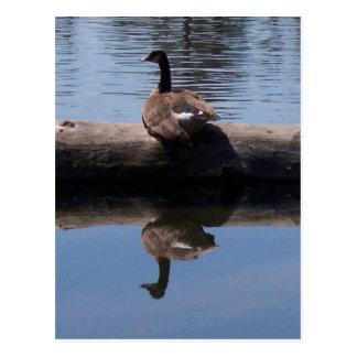 Canadian Goose Postcard