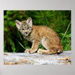 Canadian Lynx Kitten Posters