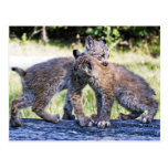Canadian Lynx Kittens Playing Post Cards